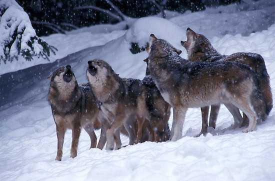 Il sistema lupo